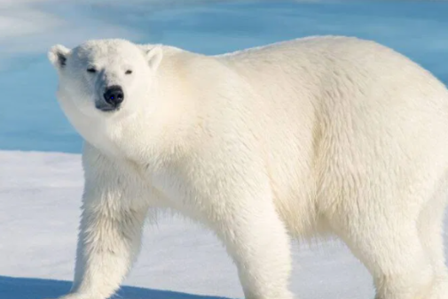 معلومات عن الدب الأبيض